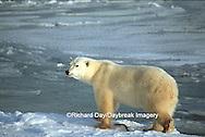 Polar Bear (Ursus maritimus) walking near Hudson Bay, Churchill MB