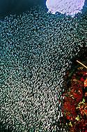 Fish Column, Reef Silversides, Atherinidae, Clupeidae, Engraulididae, Grand Cayman