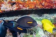Orangeband Surgeonfish, Acanthurus olivaceus, Forster, 1801, na'ena'e, Maui, Hawaii
