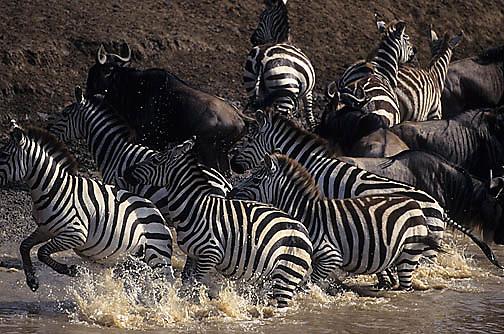 Burchell's Zebra, (Equus burchelli) Spooked herd leaving waterhole. Kenya. Africa.