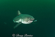 salmon shark, Lamna ditropis, investigates a dead herring, Port Fidalgo, Prince William Sound, Alaska, U.S.A.; this female has a mating scar on her flank; copepod parasites trail from dorsal and pectoral fins;
