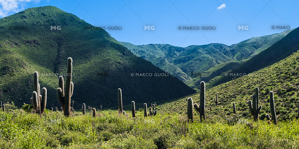 CARDONES (Trichocereus sp.), LAS PAILAS, VALLES CALCHAQUIES, PROV. DE SALTA, ARGENTINA