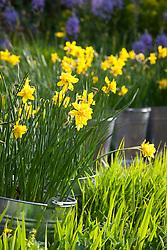 Narcissus jonquilla 'Flore Pleno' in galvanised buckets. Also known as Narcissus x odorus Plenus