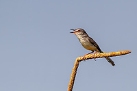The plain prinia, or the plain, or white-browed wren-warbler (Prinia inornata) is a small warbler in the Cisticolidae family.