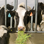 Dairy cows feeding on Roundup Ready ® alfalfa (Medicago sativa) on Jerry Tlucek Dairy Farm. Melba, Idaho