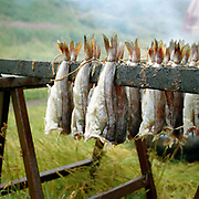 Haddock hung on sticks before being smoked to make Arbroath smokies on Auchmithie beach near Arbroath, Scotland. Arbroath smokies originated in Auchmithie, a small fishing village a few miles north of Arbroath. Only haddock can be used to produce an authentic 'Arbroath Smokie'. After cleaning, salting and washing, the fish are then tied by the tail in 'pairs' and hung on sticks. The smokie pit is then prepared. A hole is dug in the ground and a half whisky barrel is set into it, after lining with slates a hardwood fire of beech and oak is lit inside. The sticks of fish are then placed over the pit and a hessian cover allows the fire to breath and maintain the required heat.