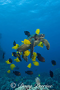 green sea turtle ( Chelonia mydas ) being cleaned by herbivorous fish that graze algae off of turtle's shell, at cleaning station, Kona, Hawaii ( Central Pacific Ocean ); cleaner fish are yellow tangs ( Zebrasoma flavescens ) and gold-ring surgeonfish ( Ctenochaetus strigosus )