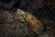 Loggerhead Musk Turtle<br /> <br /> Isaac Szabo/Engbretson Underwater Photography
