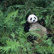 Giant Panda, (Ailuropoda melanoleuca)  Eating bamboo.Wolong Natural Reserve. Sichuan, China.  Captive Animal.