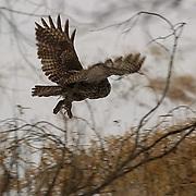 Great Gray Owl (Strix nebulosa) In flight. Northern Minnesota. January. Winter.