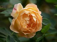Rosa 'Roald Dahl' a yellow English shrub rose in Chiswick House Gardens, Chiswick House, Chiswick, London, UK