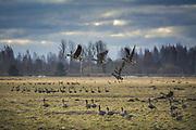 Wary flocks of migrating geese on farmland with few of them already taking flight, Svēte floodplains, Latvia Ⓒ Davis Ulands | davisulands.com