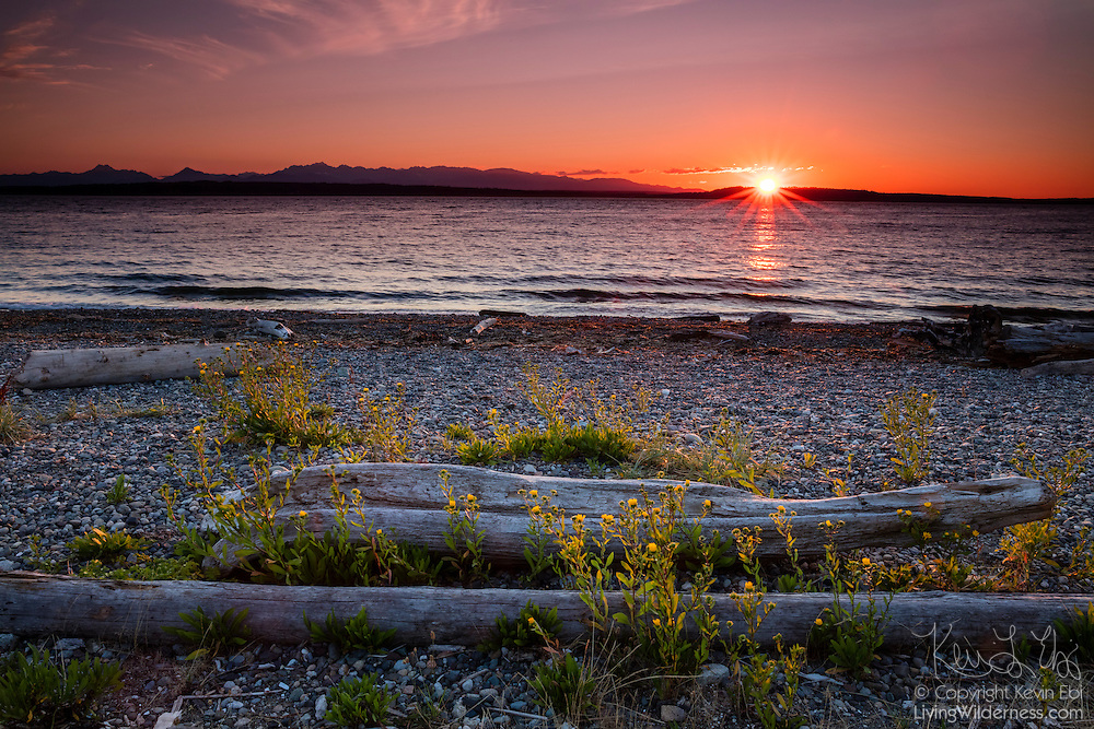 The late evening sun lights up golden flowers and driftwood just before it sets behind the Olympic Mountains in this view from Richmond Beach, Shoreline, Washington.