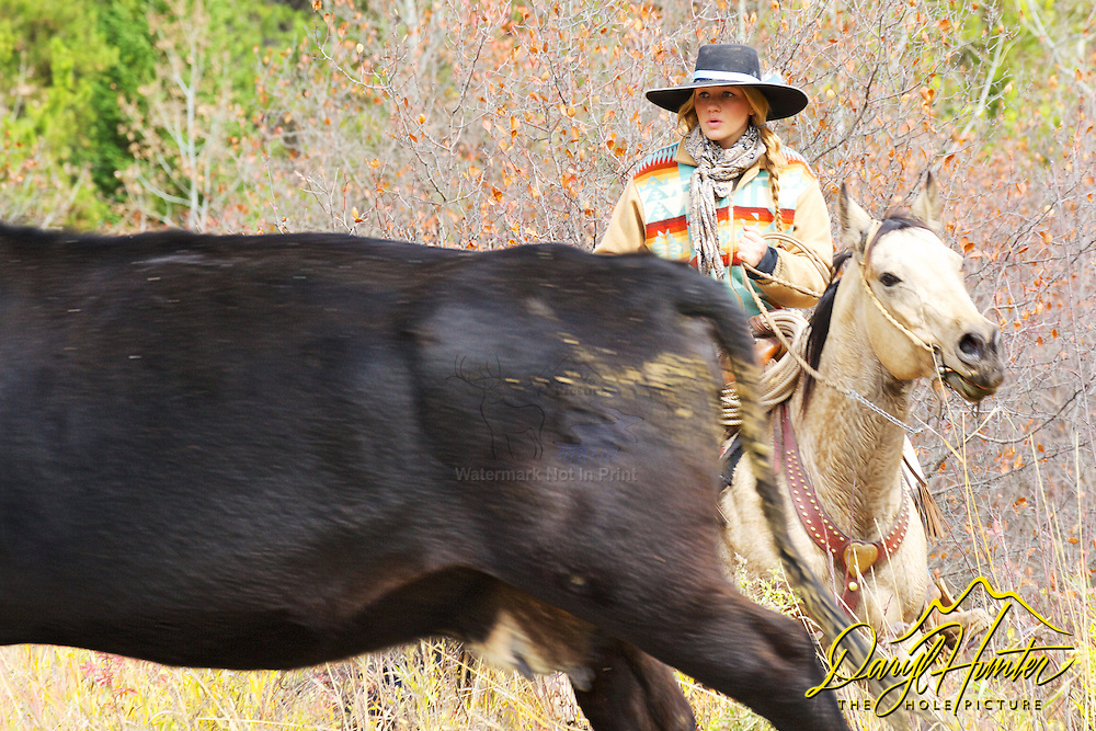 Cowgirl wrangling a cow on a cattle drive in Star Valley Wyoming. <br /> My photos are not to be used for anti public land ranching interests. The cowboys of the west are under assault because many don't like to see their cows on public land. I have written a couple of articles articulating the problem.