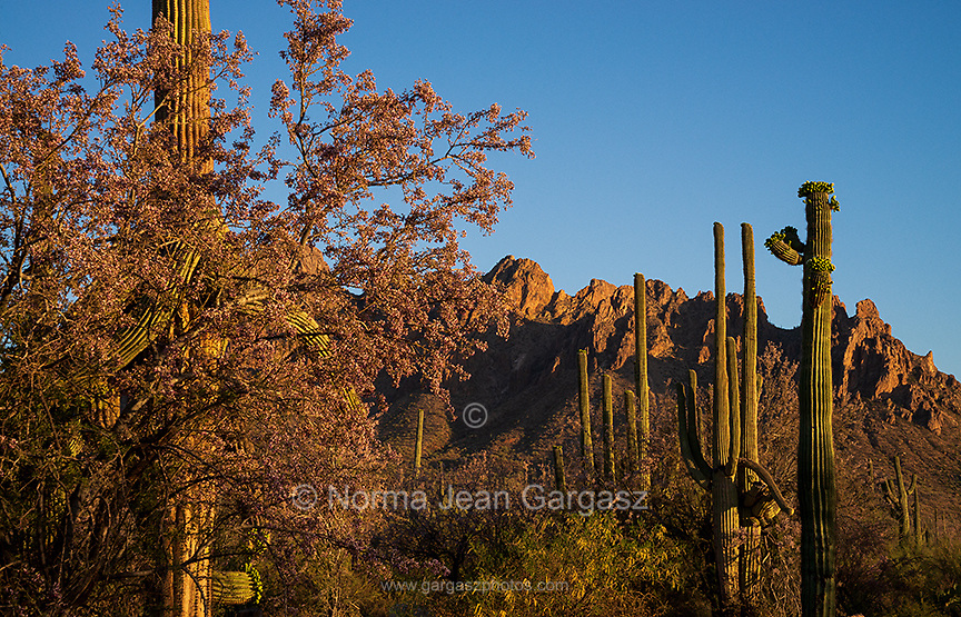 Ironwood trees and saguaro cactus bloom in May in the Ironwood Forest National Monument, Sonoran Desert, Arizona, USA.