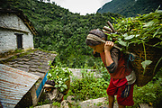 Two sisters carrying heavy baskets filled with leaves back to their remote, mountain home, Himalpani, Annapurna Sanctuary Trek, Nepal