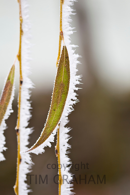 Winter scene hoar frost on Weeping Willow tree branch in The Cotswolds, UK