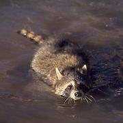 Raccoon, (Procyon lotor) Swimming in river. Captive Animal.
