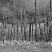 Burned Pine Tree Grove Storm Clouds - Yellowstone National Park - Black & White