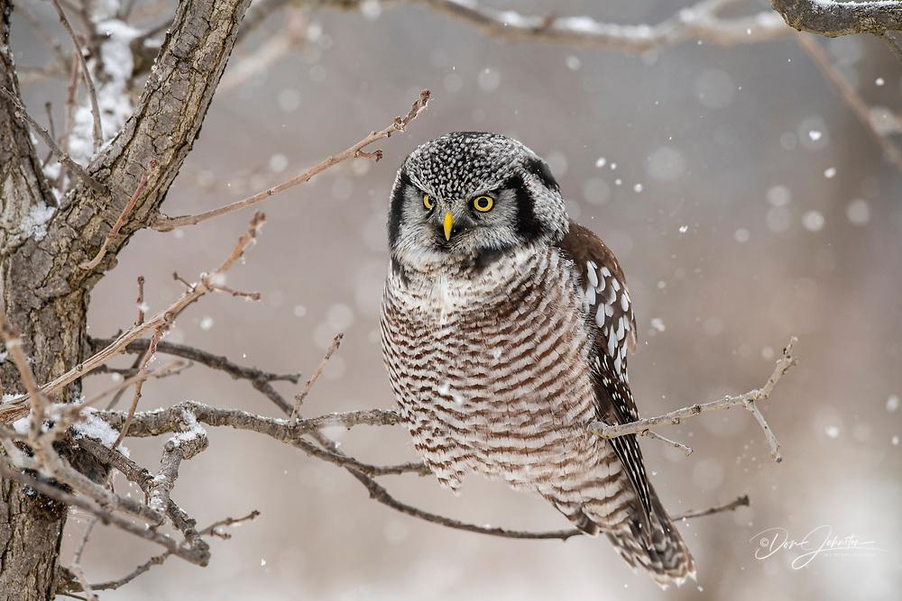 Northern Hawk Owl (Surnia ulula) Individual hunting in winter range, south of home range, Greater Sudbury, Ontario, Canada