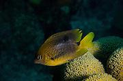 Threespot Damselfish (Stegastes planifrons)<br /> BONAIRE, Netherlands Antilles, Caribbean<br /> HABITAT & DISTRIBUTION: Reef tops in areas of algae growth & staghorn coral.<br /> South Florida, Bahamas, Caribbean, Gulf of Mexico & Bermuda.