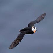 Tufted Puffin (Fratercula cirrhata) In breeding plumage. In flight. St. Paul, Pribilof Islands. Alaska.