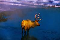 Bull elk in stream, Cervus canadensis, Yellowstone National Park, Wyoming