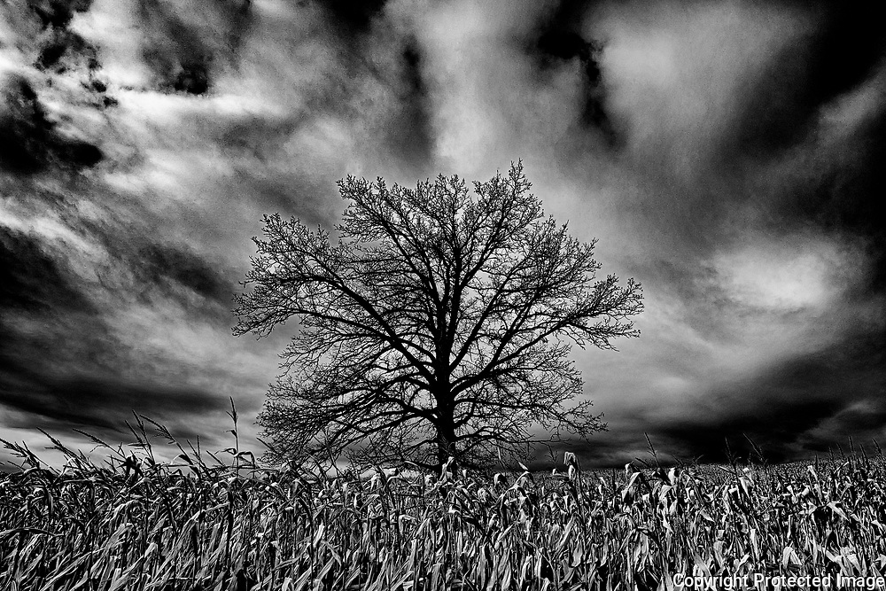 Tree and storm clouds in corn field<br />Foresters Falls