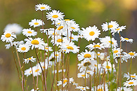 daisies in a bunch with blurred background