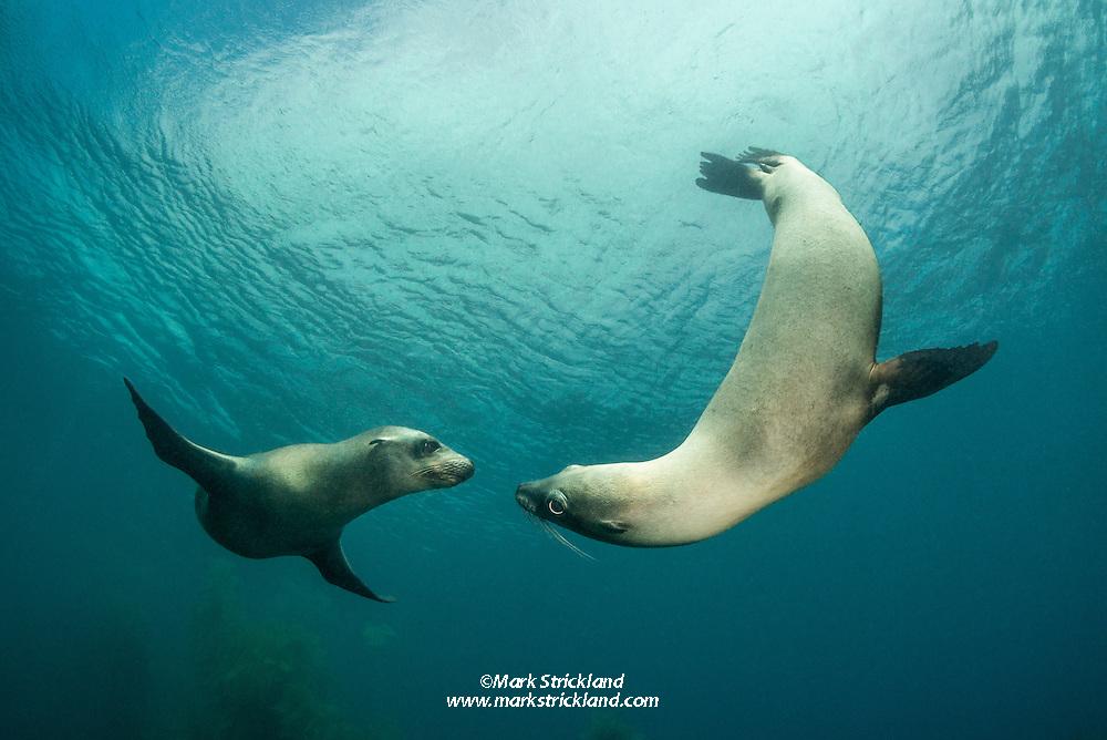 California Sea Lions , Zalophus californianus, Santa Barbara Island, Channel Islands, California, Pacific Ocean, USA