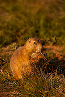 Prairie dog, Devils Tower National Monument, Wyoming USA