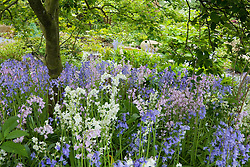 Hyacinthoides hispanica - Spanish bluebells growing in the shade of Amelanchier canadensis
