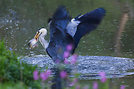 Heron catching fish in River Dove, near Milldale, Staffordshire, Peak District National Park