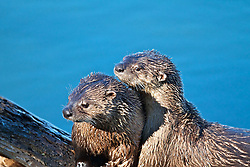 Breeding pair of River Otters, Trout Lake, Yellowstone National Park