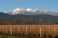 The Golden Ears (Mount Blandshard) tower above a blueberry farm in Pitt Meadows, British Columbia, Canada.