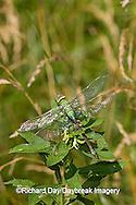 06361-005.14 Common Green Darner (Anax junius) female, Marion Co. IL