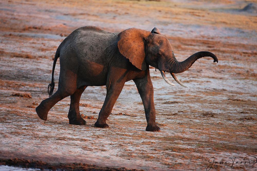 An African elephant (Loxodonta africana)  quickly walking around a water hole at sunset, Hwange National Park, Zimbabwe,Africa