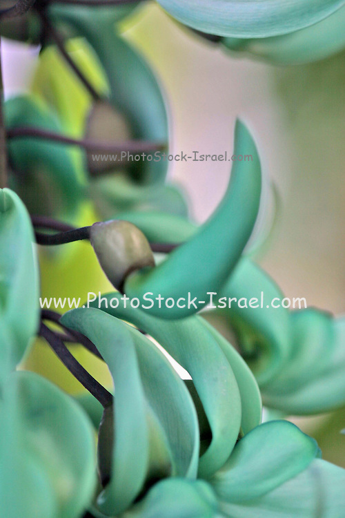 strongylodon macrobotrys Jade vine.Native to the Philippines, the Jade Vine is a climbing plant that scrambles up though the tropical forest canopy to reach the light.
