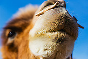 Bactrian camels of the Gobi Desert(Camelus bactrianus) in Mongolia with long, shaggy fur in the winter, Gobi Desert, Mongolia