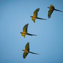 Arara-canindé (Ara ararauna) fotografado em Goiás - Centro-Oeste do Brasil. Bioma Cerrado. Registro feito em 2015.<br /> ⠀<br /> ⠀<br /> <br /> <br /> <br /> <br /> ENGLISH: Blue-and-yellow Macaw photographed in Goias - Midwest of Brazil. Cerrado Biome. Picture made in 2015.