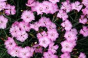 Flower garden of pinks at the Lyndale Park Peace Garden.  Minneapolis Minnesota USA