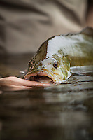 fly caught small mouth bass in tributary of lake champlain during spring spawning run, New York