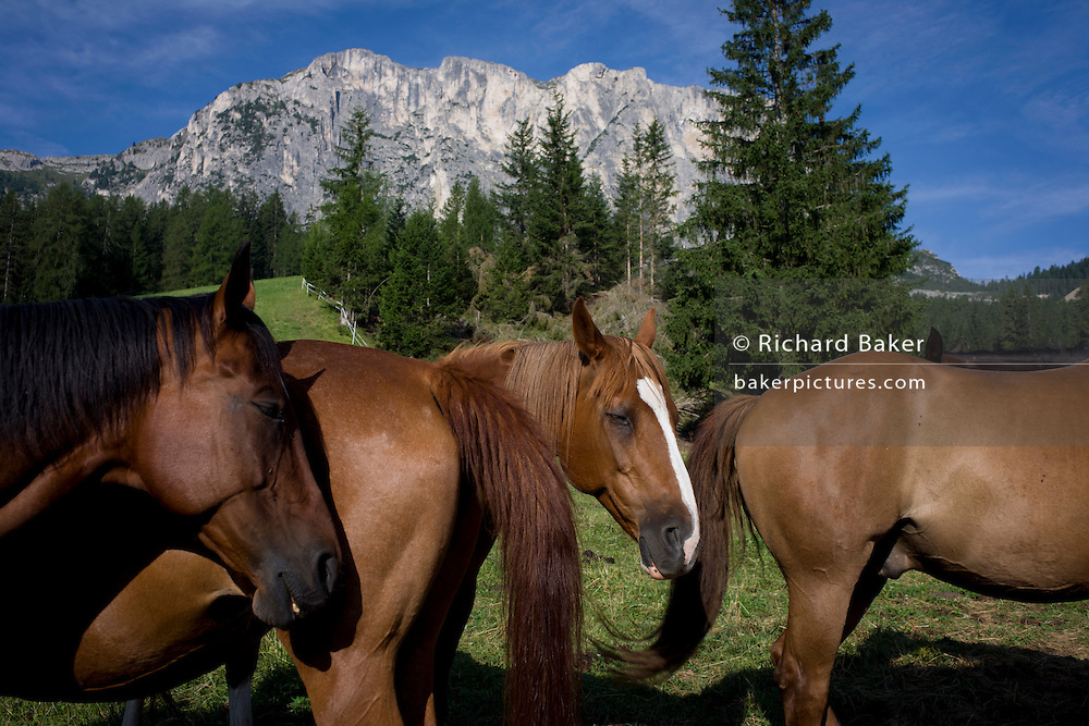 Mountain horses position themselves so that the tail of another swishes away flies from the faces of others, under Dolomites mountain in Alta Badia, south Tyrol, Italy.
