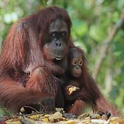 Orang-utan (Pongo pygmaeus) mother with baby at feeding station. Tanjung Puting National Park. Borneo