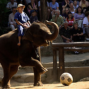 CHIANG MAI - FEB 24 2006: An elephant kicking soccer ball at The Mae Sa Elephant Park. The animals perform tricks such as removing tourist's hats, painting pictures, and giving rides. However, they are usually treated very poorly at such entertainment-based facilities. Many visitors believe the only way to interact with the animals is through the entertainment based shows, when many environmentally based programs provide better experiences for both people and animals. Asian elephants - strong, social, and intelligent - have been trained for thousands of years for use in transportation, labor, and ritual. In Thailand, Elephants are of immense cultural importance, but their numbers are shockingly plummeting. In 1905, there were over 100,000 elephants in this land - now they are estimated at less than 5,000, of which barely half are in the wild. (Photo by Logan Mock-Bunting)