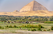 Shepherd tending to his flock of goats and sheep in Dahshur with the bent Pyramid in the background