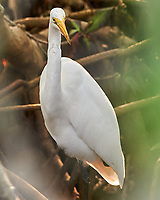 Great Egret (Ardea alba). Weedon Island Preserve. Pinellas County, Florida. Image taken with a Nikon D700 camera and 200-400 mm f/4 VR lens.