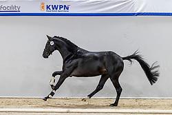335, Nicklas<br /> KWPN Hengstenkeuring 2021<br /> © Hippo Foto - Dirk Caremans<br />  04/02/2021