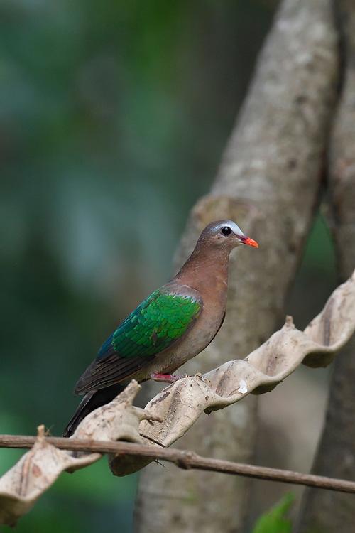 Common emerald dove, Asian emerald dove, or grey-capped emerald dove, Chalcophaps indica, Tongbiguan nature reserve, Dehong, Yunnan, China