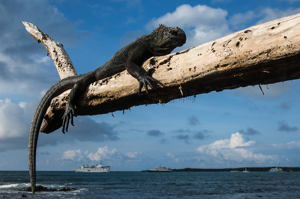 Marine Iguana (Amblyrhynchus cristatus) with tourists boats in Puerto Ayora Harbour.<br /> Puerto Ayora, Santa Cruz Island, GALAPAGOS ISLANDS<br /> ECUADOR.  South America<br /> ENDEMIC TO THE ISLANDS<br /> These are the only true marine lizards in the world. Although not truely social they are highly gregarious, often spending cool nights in tight clusters. As the sun rizes they can be seen sunning themselves on the rocks to heat up before going into the sea to feed. Their black coloration helps them to absorb the sun's energy and to camourflage on the lava rocks.